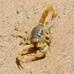 Giant hair scorpion