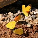 Sulphur butterflies