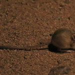 Cangaroo rat