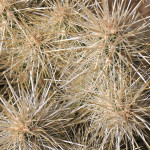 Silver cholla spines