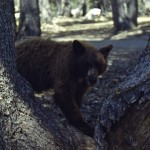 California brown bear