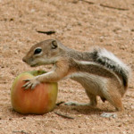Antelope ground squirrel_
