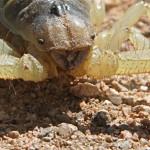 Giant hair scorpion