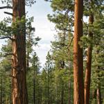 Sierra pine forest