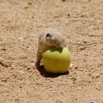Roundtail ground squirrel