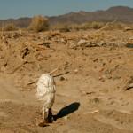 Desert shaggy mane