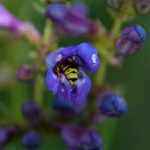 Blue penstemon