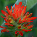 Mountain paintbrush