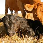 Mojave desert cattle