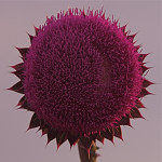 Red headed thistle
