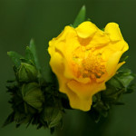 Yellow mallow