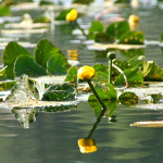 Yellow pond lilly