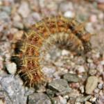 California tent caterpillar