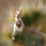 Desert orb weaver