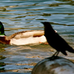 Mallard duck and grackle