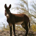 Wild donkey, burro