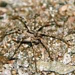 Long legged wolf spider