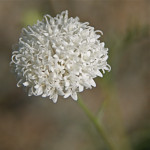 Fremonts pincushion