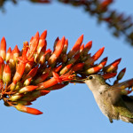 Ocotillo and hummingbird
