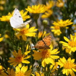 Butterflying Goldenbush