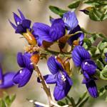 Indigo bush