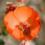 Desert globemallow or Apricot mallow