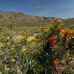 Mojave desert flowers