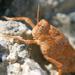Banded winged grasshopper