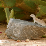 Roundtail ground squirrel
