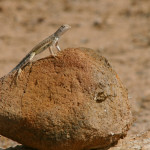 Whiptail pretending to be Rock lizard