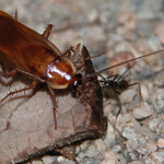 Desert roach