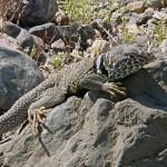 Death valley lizard